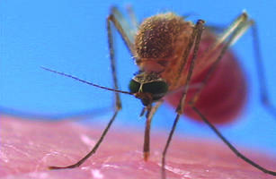 more than half of britain's mosquito species could transmit malaria